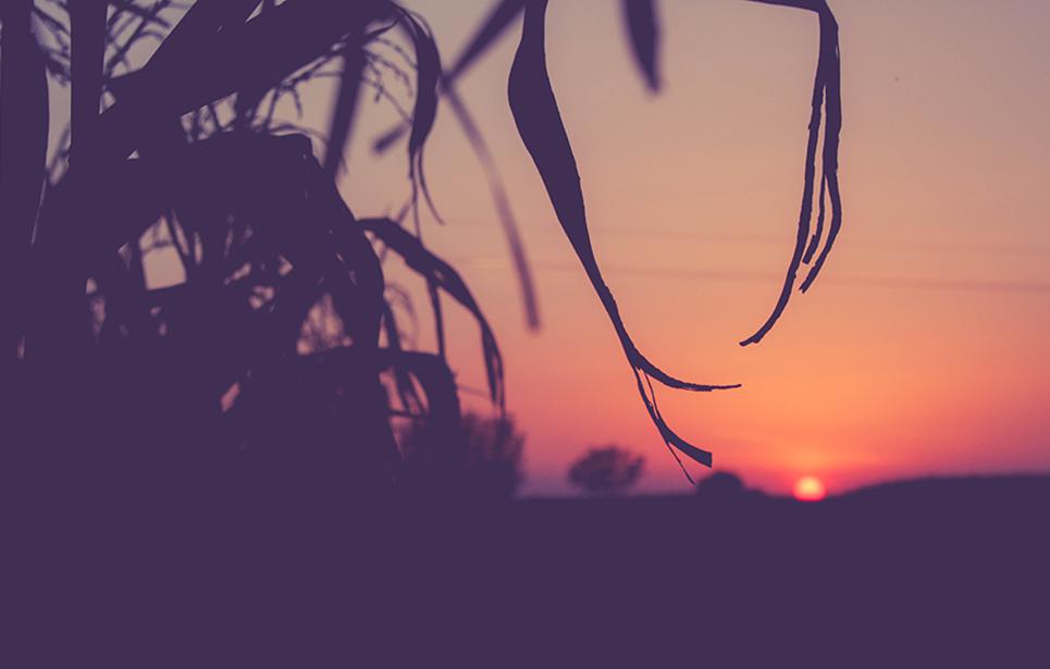 Őszi határ - a kukorica utolsó naplementéje (Fotó: Zavada Andrea)