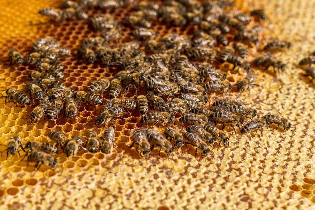 Szorgos méhek a kaptárban - már télire raktároznak (Fotó: Rajki Judit)
