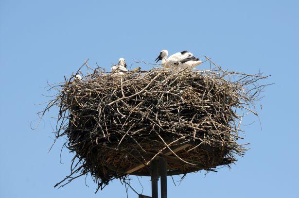 Az egyik rákóczitelepi gólyafészek (Fotó: Kecskeméti Krisztina)