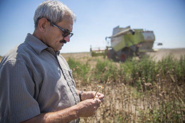 Németh Imre növénytermesztési ágazatvezető vizsgálja a termést (Fotó: Rosta Tibor)