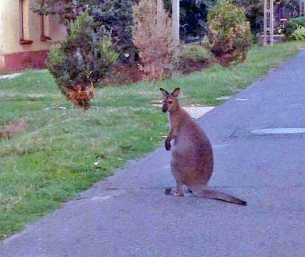 A gazdái vitték haza Joey-t, a kengurut (Fotó: Csapóné Kecskés Erika)